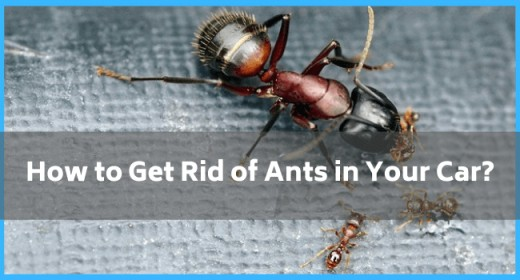 How to Get Rid of Ants in Your Car?